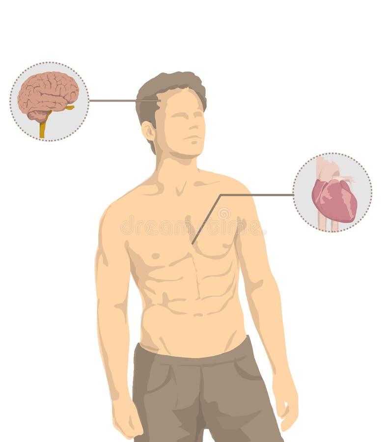 Иллюстрация без рубашки человека с основными органами человеческого тела, сердце, мозг, печень, кишечник, живот, легкие иллюстрация штока