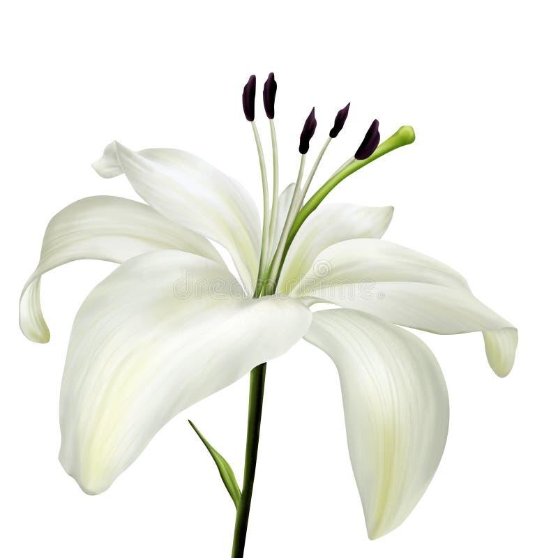 Иллюстрация цветка белой лилии реалистическая стоковые фото