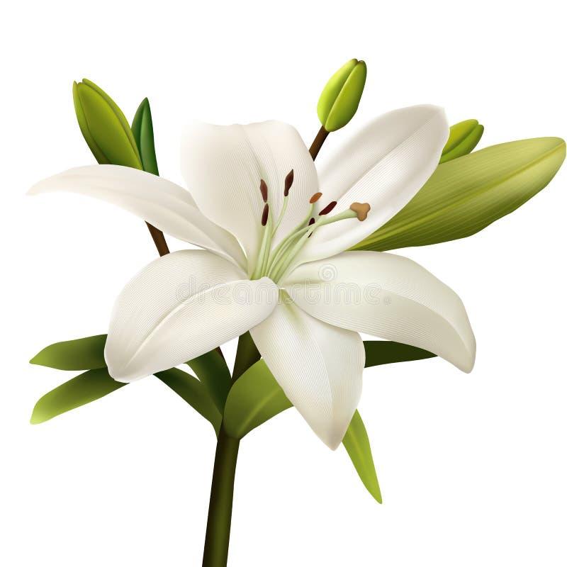 Иллюстрация цветка белой лилии реалистическая стоковое фото rf