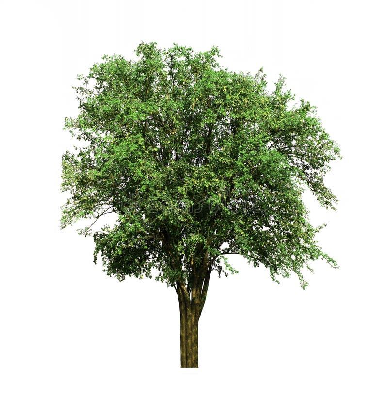 Индийское дерево jujube, расти тропического плода вверх в органических полях риса изолированных на белой предпосылке стоковые фото