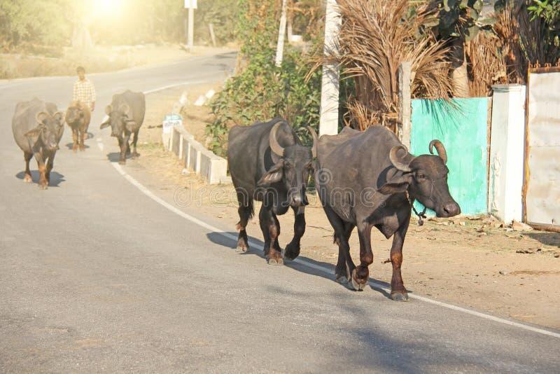 Индия, Hampi, 31-ое января 2018 Чабан управляет черными буйволами вдоль дороги стоковое фото