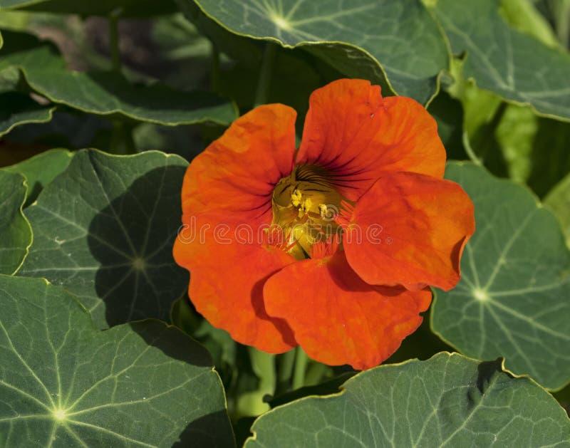 Интенсивный оранжевый цветок настурции стоковое изображение rf