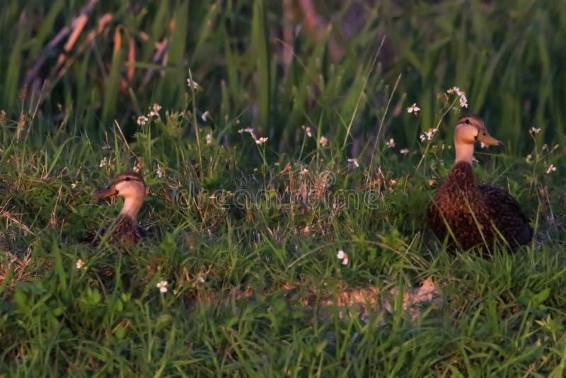 Испещрятьые утки на озера окаймляются стоковое фото