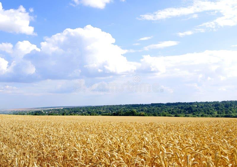 июль Бесконечное поле зрелых ушей пшеницы стоковые изображения