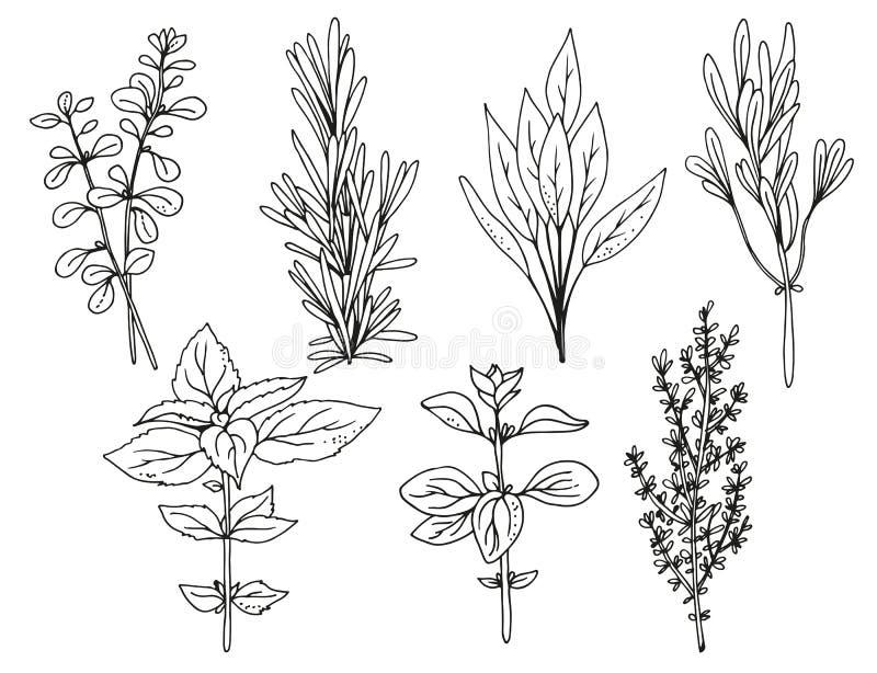 Итальянские травы на белой предпосылке, иллюстрации вектора трав иллюстрация штока