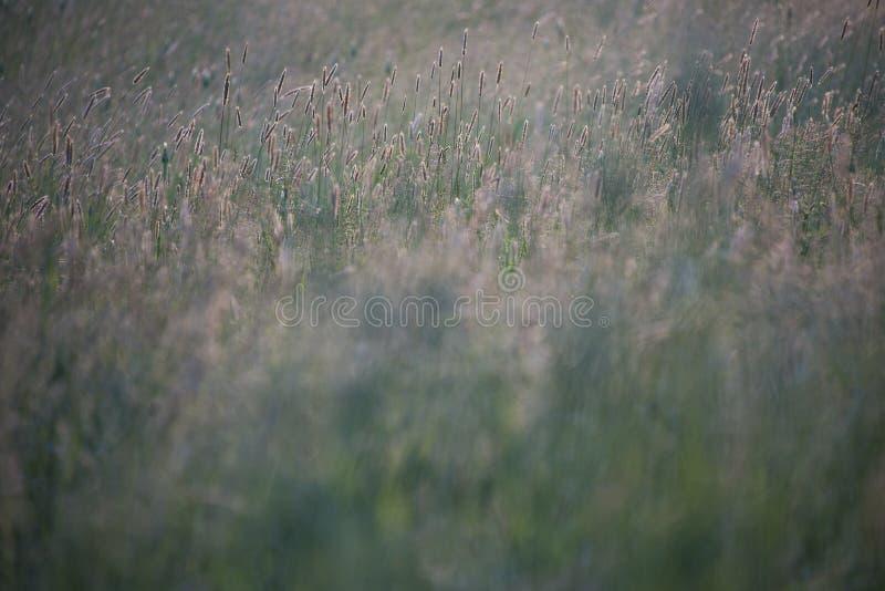 Кабели лисы дикой травы в луге стоковая фотография rf