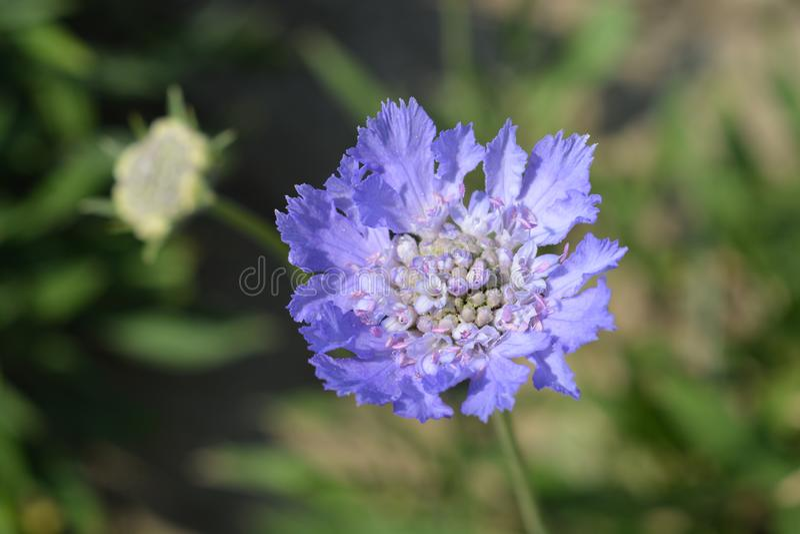 Кавказский цветок pincushion стоковое изображение rf