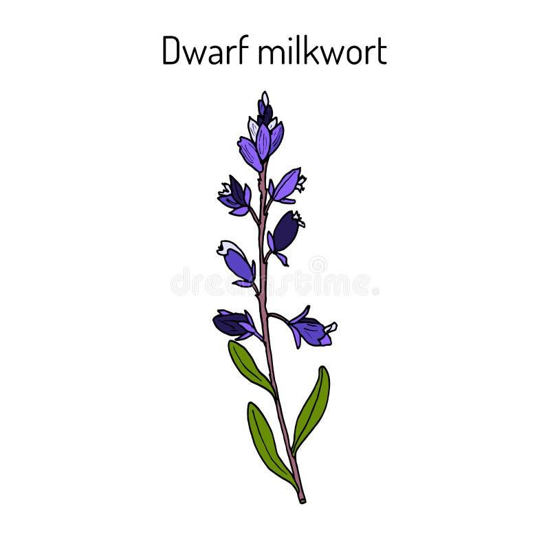 Карлик или лекарственное растение Kentish amarella истода milkwort иллюстрация штока