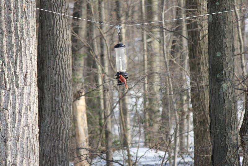 Кардинал на фидере птицы со снежными древесинами на заднем плане стоковое фото rf