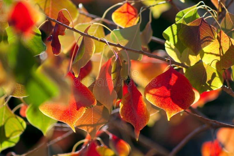 Китайские листья Tallow стоковые фотографии rf