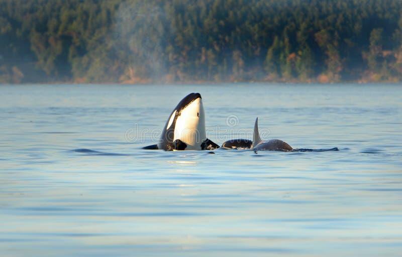 Кит spyhopping Стручок дельфин-касаток косатки плавая в голубом океане, Виктория, Канаде стоковая фотография rf