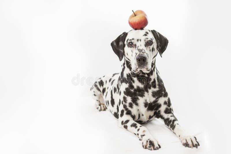 Класть далматинскую собаку с красным яблоком на его голову на белой предпосылке стоковая фотография rf