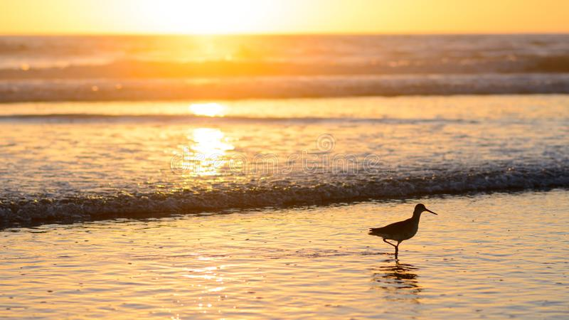 Кулик на Тихом океан пляже во время захода солнца стоковая фотография rf