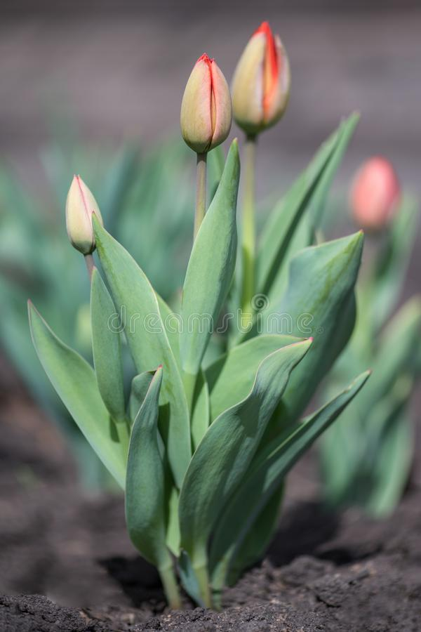 Кустарник светлого - розовые голландские тюльпаны в саде стоковые фото