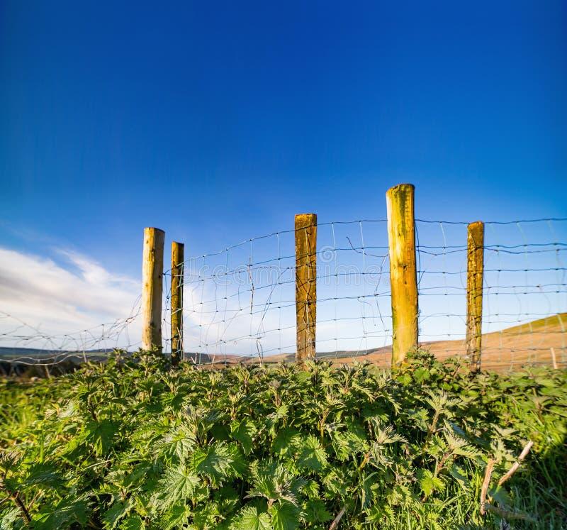 Крапивы растя на Ирландском провода обнесут забором весну стоковые изображения rf