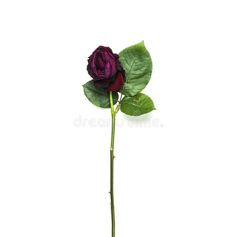 Красивая красная роза увядать изолированная на белом взгляде сверху предпосылки стоковое фото
