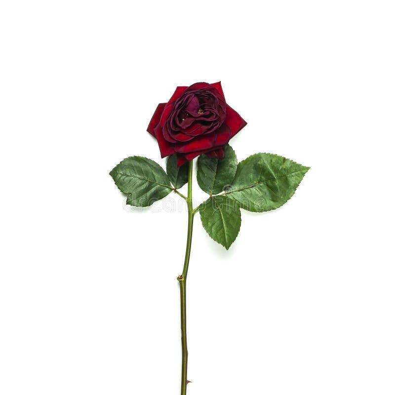 Красивая красная роза увядать изолированная на белом взгляде сверху предпосылки стоковые изображения