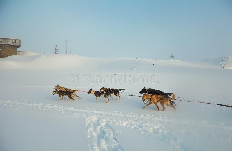 Красивая 6 команд собаки вытягивая скелетон в красивом пейзаже утра Норвегии Спорт зимы для любовников собаки стоковая фотография