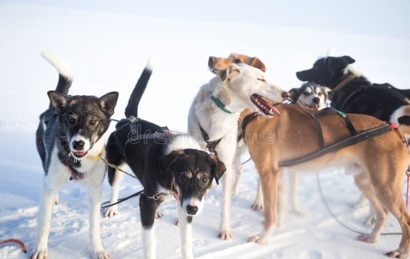 Красивая 6 команд собаки вытягивая скелетон в красивом пейзаже утра Норвегии Спорт зимы для любовников собаки стоковая фотография rf