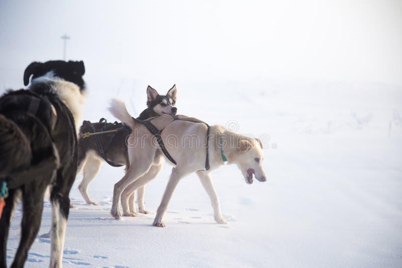 Красивая 6 команд собаки вытягивая скелетон в красивом пейзаже утра Норвегии Спорт зимы для любовников собаки стоковое фото