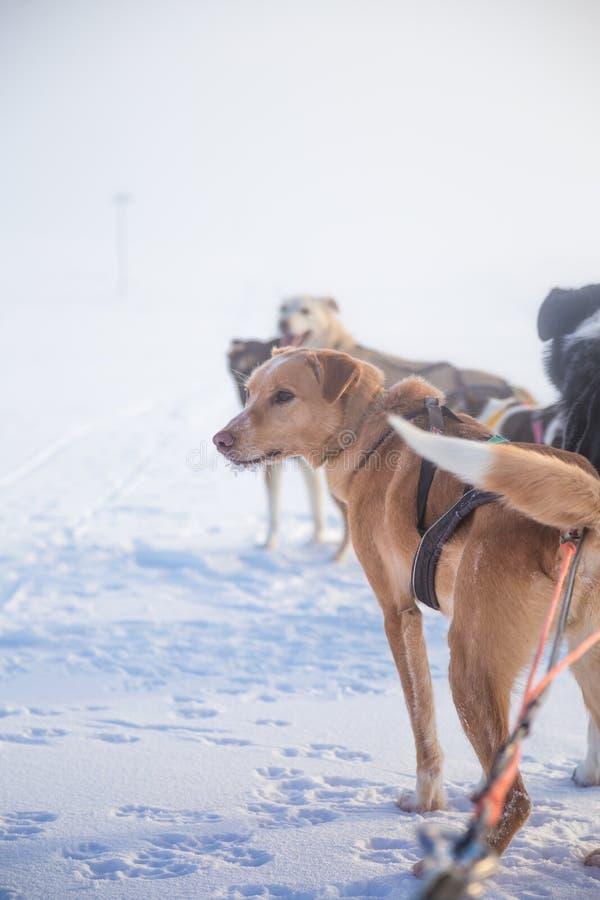 Красивая 6 команд собаки вытягивая скелетон в красивом пейзаже утра Норвегии Спорт зимы для любовников собаки стоковые фото