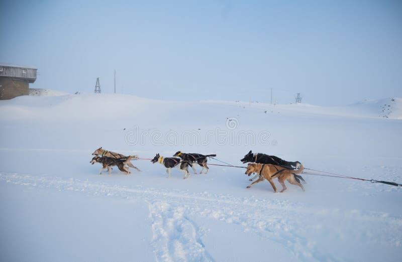 Красивая 6 команд собаки вытягивая скелетон в красивом пейзаже утра Норвегии Спорт зимы для любовников собаки стоковое фото rf