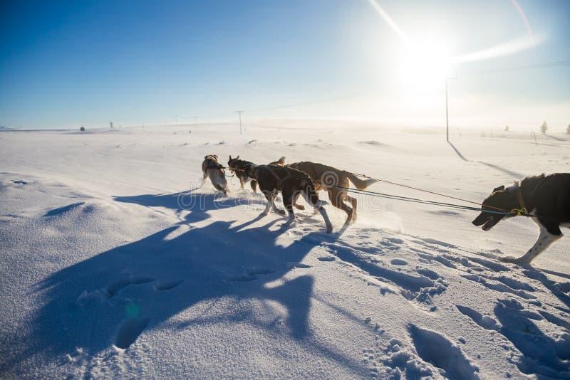 Красивая 6 команд собаки вытягивая скелетон в красивом пейзаже утра Норвегии Спорт зимы для любовников собаки стоковые фотографии rf