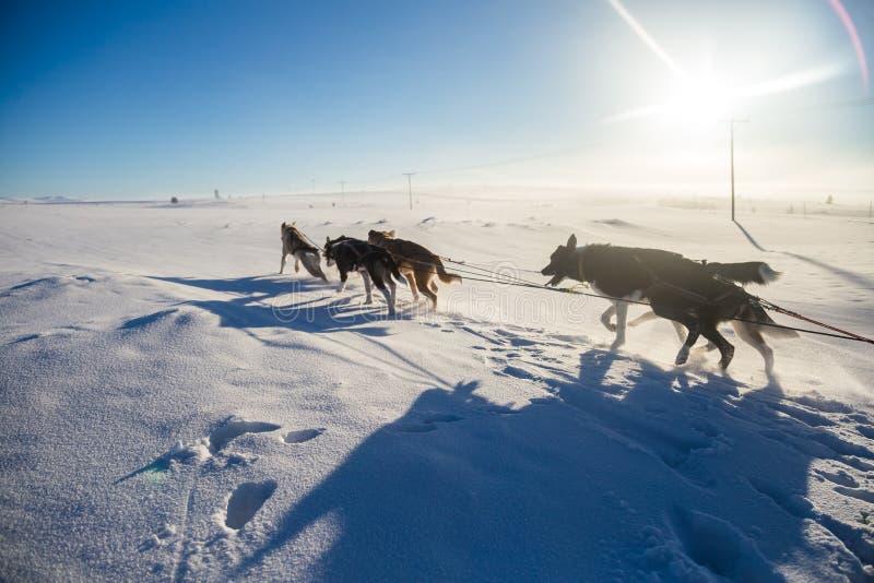 Красивая 6 команд собаки вытягивая скелетон в красивом пейзаже утра Норвегии Спорт зимы для любовников собаки стоковое изображение rf