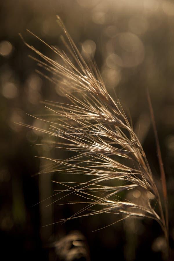 Красивая предпосылка природы с концом вверх ушей зрелой пшеницы на поле хлопьев стоковые фотографии rf