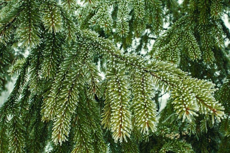 Красивая природа зимы Лес ели сказки стоковые фотографии rf
