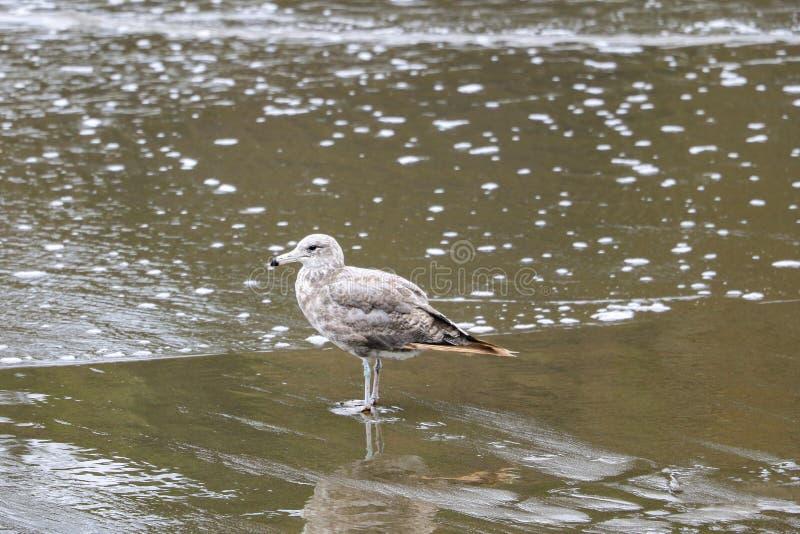 Красивая чайка стоит на побережье моря или океана стоковые фото