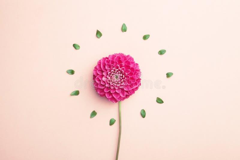 красивейший цветок георгина стоковые изображения rf