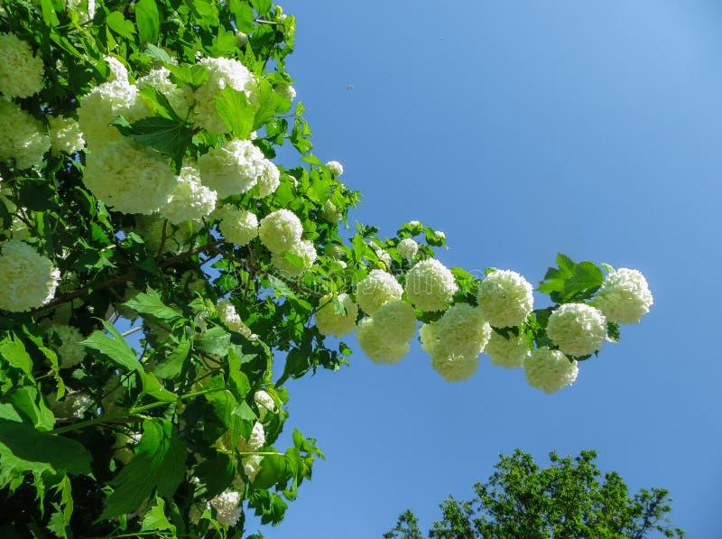 Красивые белые цветки гортензии, против предпосылки голубого неба стоковые фото