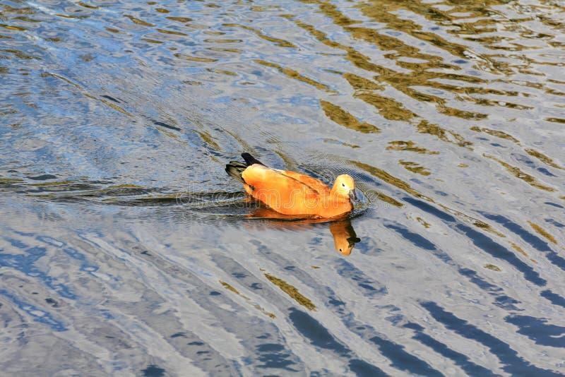Красивые заплывы утки на покрашенных волнах реки стоковая фотография rf