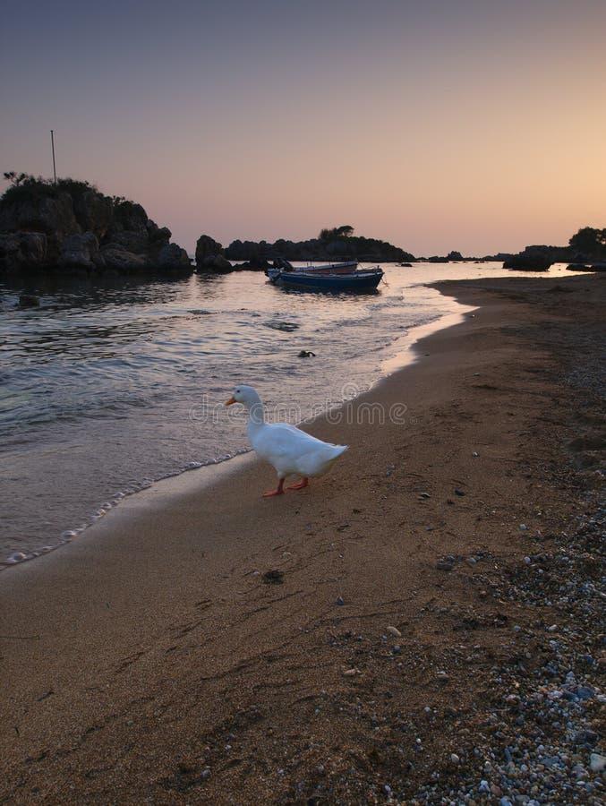 Красивые песчаный пляж и утка стоковое фото rf