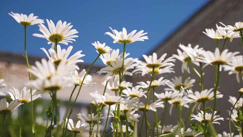 Красивые цветки маргаритки во дворе белые цветки трясут ветер против голубого неба стоковые фото