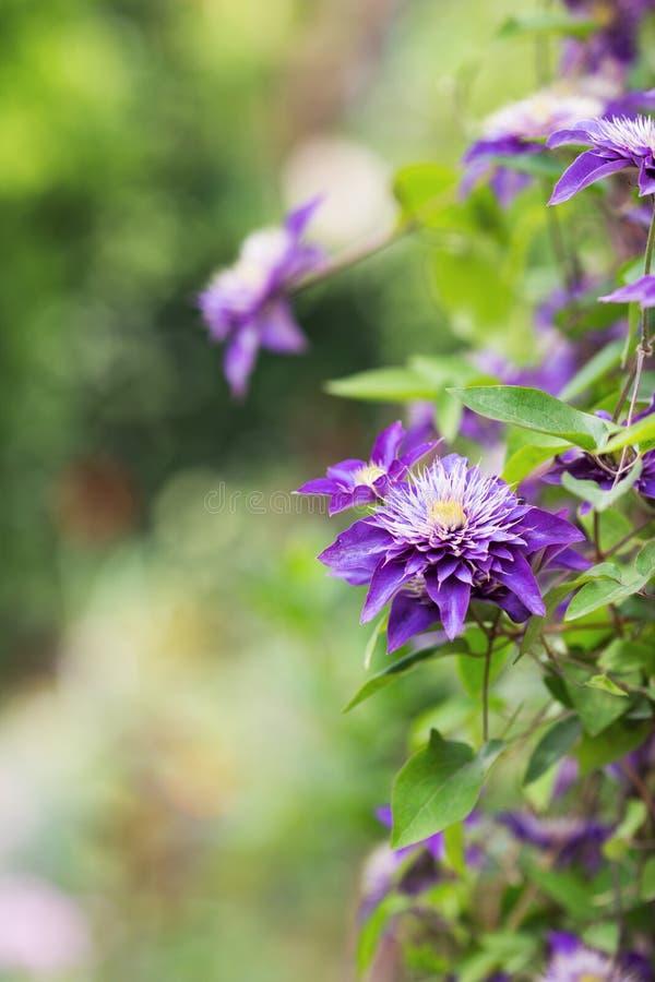 Красивые цветки пурпурного clematis на солнечной запачканной предпосылке стоковая фотография