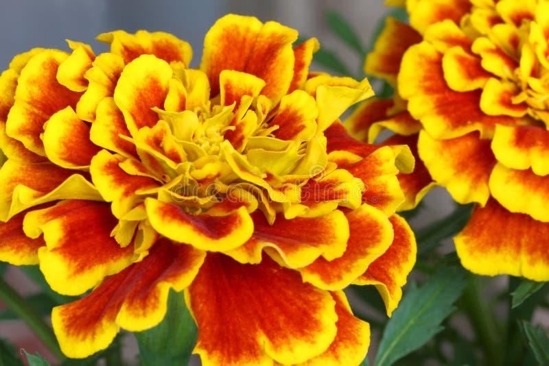 Красивые цветки французского ноготк зацветают стоковая фотография rf