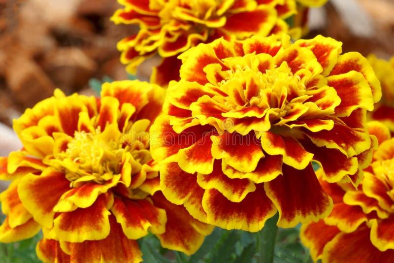 Красивые цветки французского ноготк зацветают стоковое фото rf
