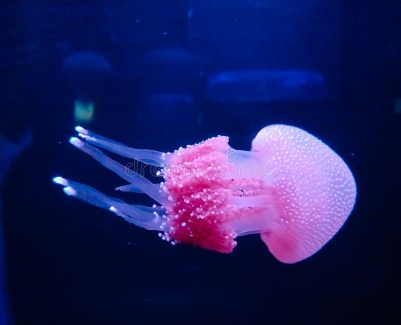 Красивые розоватые медузы, тварь моря, плавать, пушистый, ровный, красота в природе, воде, море, животных стоковое фото rf