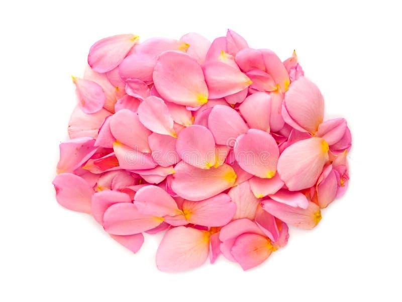 красивые розовые лепестки розы изолированные на белой предпосылке стоковое изображение rf