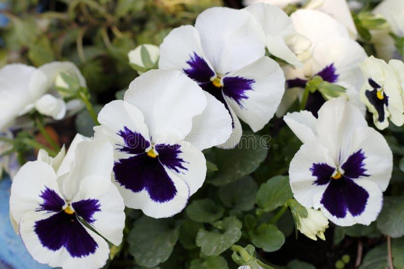 Красивые pansies цветений с и violett в весеннем времени стоковое фото rf