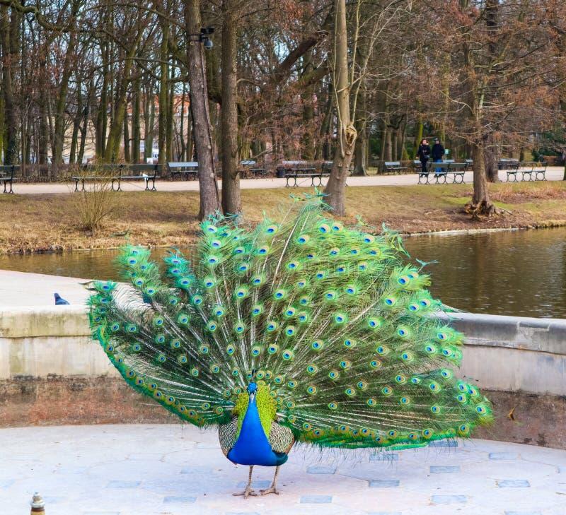 Красивый и красочный павлин в королевских ваннах паркует парк Lazienki Варшава, Польша стоковое изображение rf