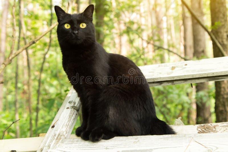 Красивый кот bombay черный с желтыми глазами и взглядом проницательности Весна, лето стоковое фото rf