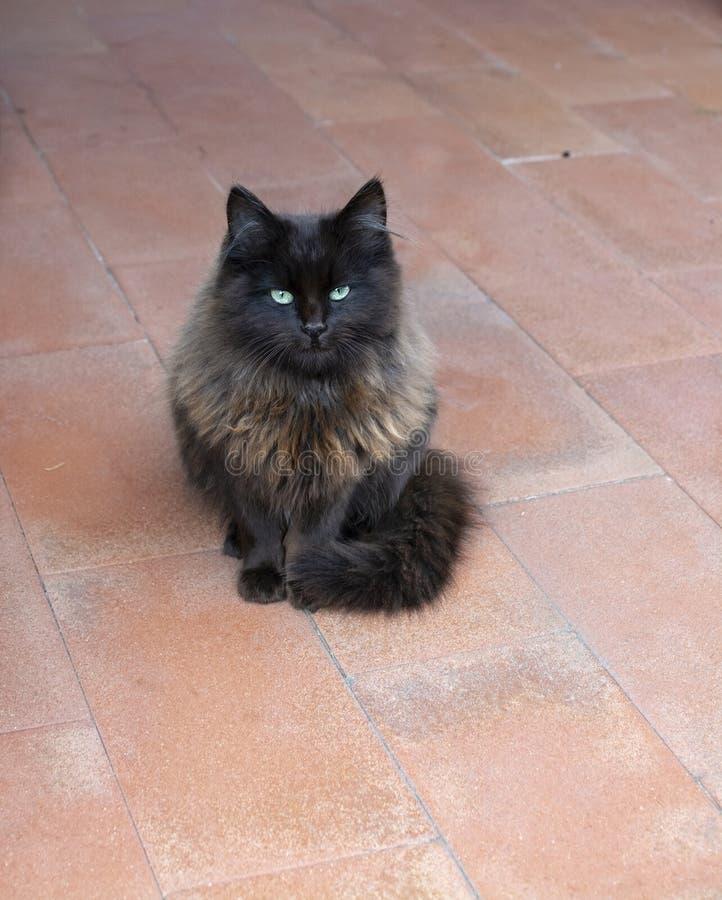 Красивый темный коричневый пушистый кот с изумрудно-зелеными глазами на красном цвете стоковое изображение