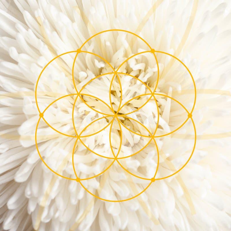 Красивый цветок астры как предпосылка стоковые фото