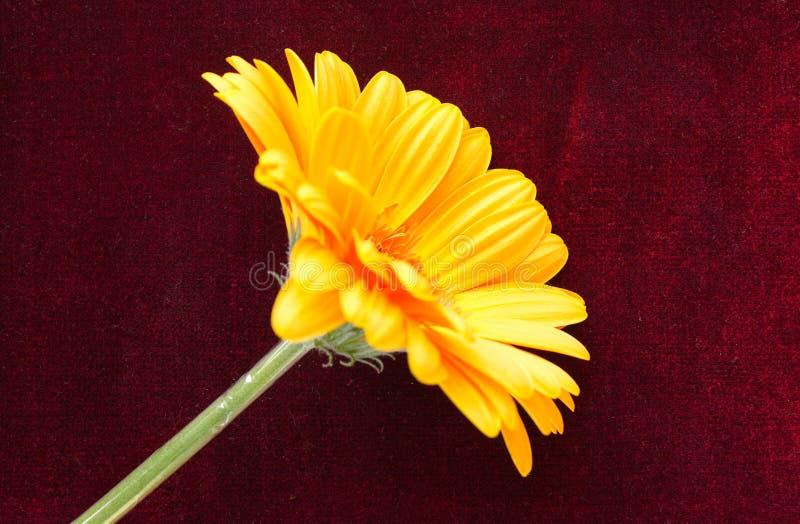 Красивый цветок желт-апельсина на бургундском бархате стоковое фото rf