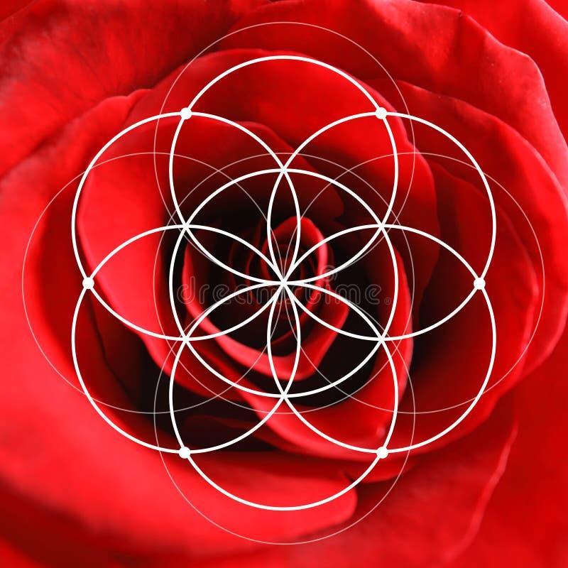Красивый цветок красной розы как предпосылка стоковое фото rf