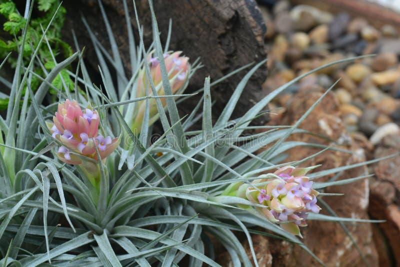 Красивый цветок bromelia стоковая фотография
