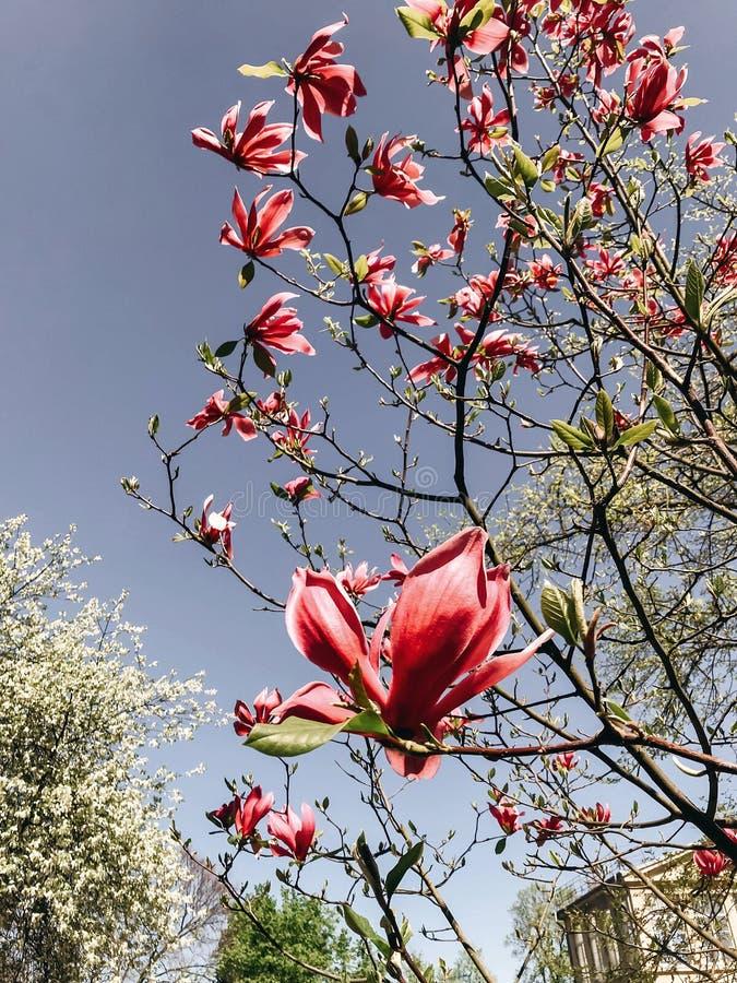 Красивый розовый цветок магнолии на ветви в небе Дерево магнолии зацветая с нежными цветками в ботаническом саде на весне Телефон стоковые фото